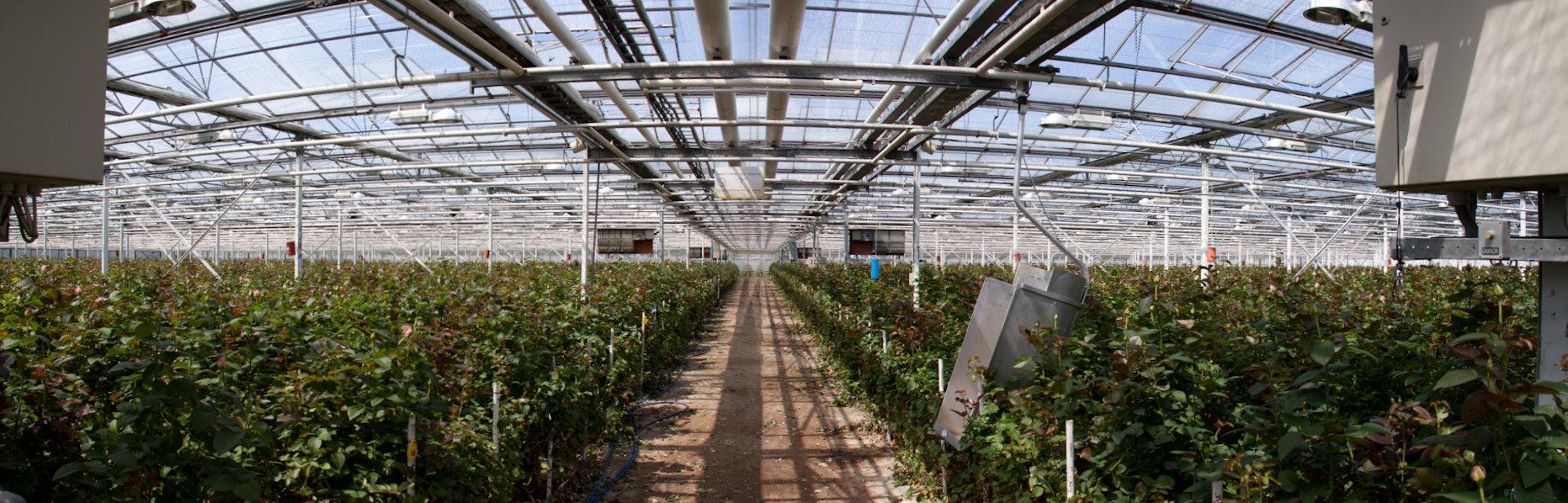 Onze rozenkwekerij
